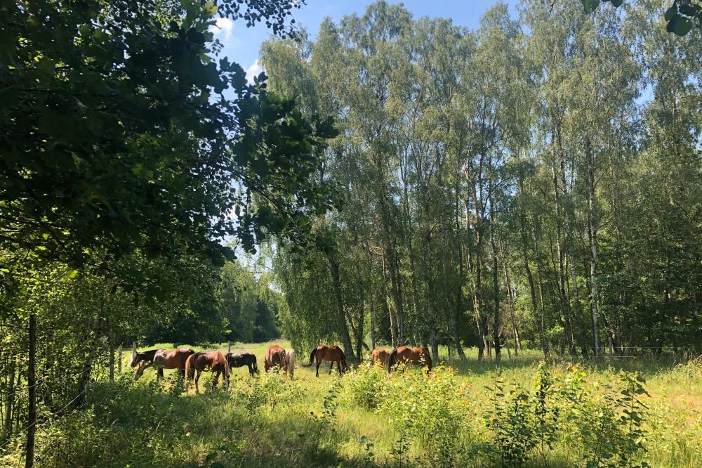Weide Wallache / Waldstück